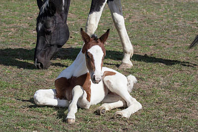 Warmblood Horse Photograph - Pinto Oldenburg Warmblood Foal by Piperanne Worcester