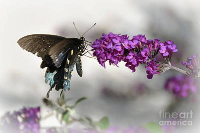 Photograph - Pipevine Swallowtail  by Gina Savage