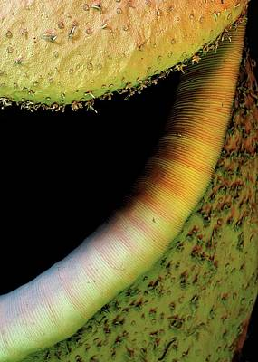 Nepenthes Photograph - Pitcher Plant Trap by Stefan Diller