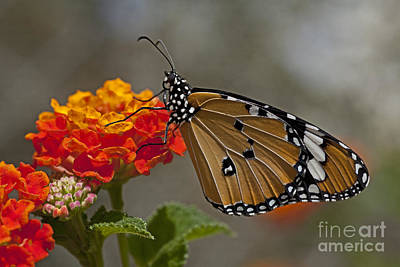 Tiger Markings Photograph - Plain Tiger Butterfly  by Eyal Bartov