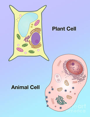 Info Graphic Photograph - Plant Cell And Animal Cell by Spencer Sutton