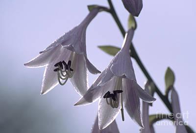 Hosta Sp Photograph - Plantain Lily Flowers Hosta Sp by Dr. Nick Kurzenko