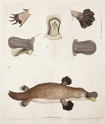 Platypus Photograph - Platypus Anatomy (shaw) by Paul D Stewart