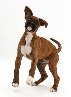 Playful Brindle Boxer Puppy Art Print by Mark Taylor