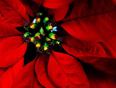 Photograph - Poinsettia by Cindi Castro
