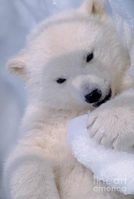 Bears Photograph - Polar Bear Cub by Mark Newman