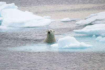 Polar Bear Art Print by John Devries/science Photo Library