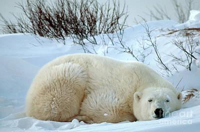 Photograph - Polar Bear by Mark Newman