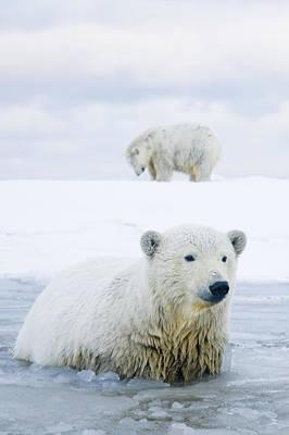 Polar Bear Pair Of Cubs Swim Print by Steven Kazlowski