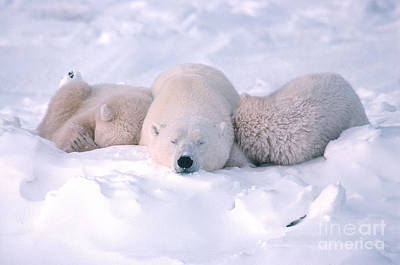 Photograph - Polar Bear Sow And Two Cubs Sleeping by Ted Kerasote