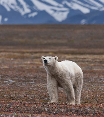 Bears Island Photograph - Polar Bear, Spitsbergen Island by Panoramic Images