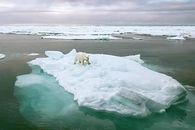 Polar Bear Standing On A Ice Floe Art Print by Peter J. Raymond