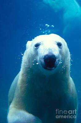 Photograph - Polar Bear Swimming by Mark Newman