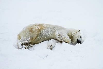 Polar Bear (ursus Maritimus) Art Print by Photostock-israel