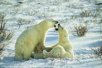 Polar Bears (ursus Maritimus Art Print by Richard and Susan Day