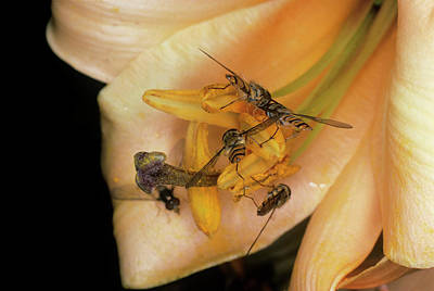 Hoverfly Wall Art - Photograph - Pollination by Dr Jeremy Burgess/science Photo Library