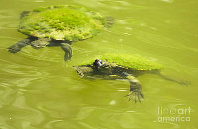 Reptiles Royalty-Free and Rights-Managed Images - Pond Turtles by Jorgo Photography - Wall Art Gallery