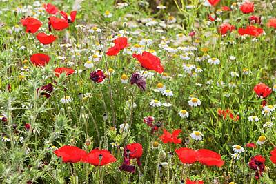 Diverse Photograph - Poppies And Other Wild Flowers by Ashley Cooper