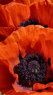 Photograph - Poppies by Debra Collins