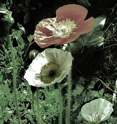 Photograph - Poppies  by Helen Carson