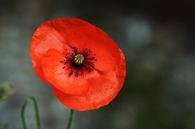 Photograph - Poppy by Chris Day