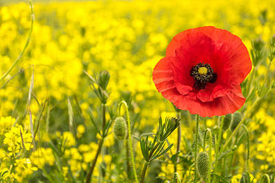 Art Print featuring the photograph Poppy. by Gary Gillette