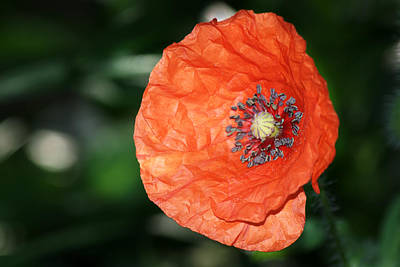 Photograph - Poppyflower by Chris Day