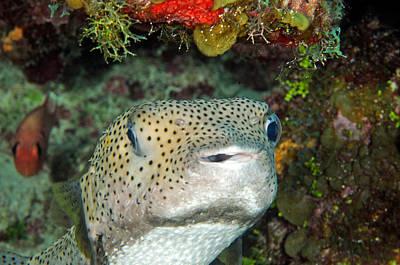 Photograph - Porcupinefish Diodon Hystrix by John Maraventano