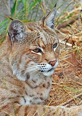 Bobcats Digital Art - Portrait Of A Bobcat by Jim Fitzpatrick