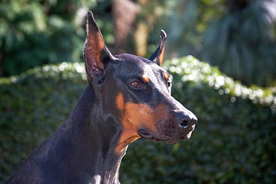 Portrait Of A Doberman Pinscher Art Print by Zandria Muench Beraldo