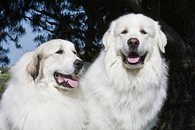Pyrenees Photograph - Portrait Of Two Great Pyrenees Together by Zandria Muench Beraldo