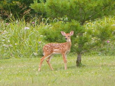 Photograph - Posing Fawn by Shirley Moravec