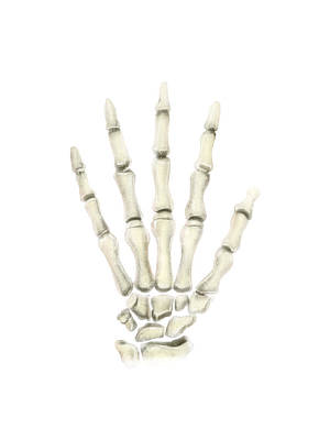 Human Joint Photograph - Posterior View Of Left Hand by Alan Gesek