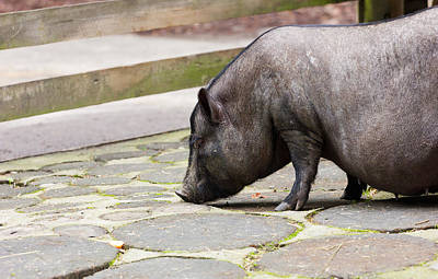 Potbelly Pig Print by Pati Photography