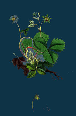 Strawberries Drawing - Potentilla Fragariastrum Barren Strawberry by English School