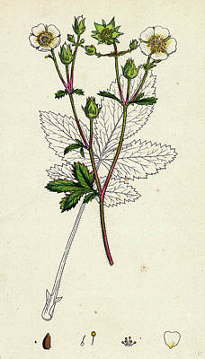 Strawberries Drawing - Potentilla Rupestris Strawberry-flowered Cinquefoil by English School