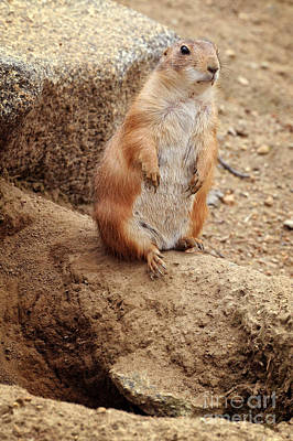 Prairie Dogs Photograph - Prairie Dogs by HD Connelly