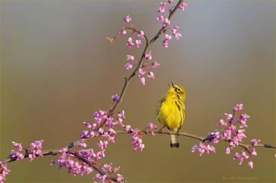 Photograph - Prairie Warbler by Daniel Behm