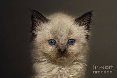 Rag Doll Photograph - Precious Baby Kitty by Andee Design