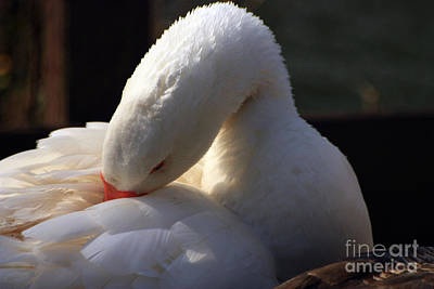 Photograph - Preening Goose by Jeremy Hayden