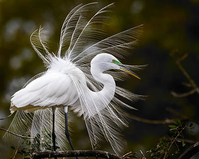 White Feather Photograph - Pomp And Circumstance by Mike Lang
