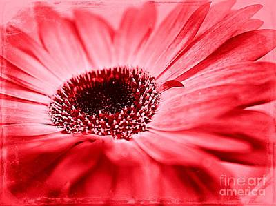 Gerbera Photograph - Pretty In Pink by Clare Bevan