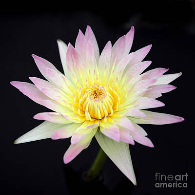 Photograph - Pretty Pink And Yellow Water Lily by Sabrina L Ryan