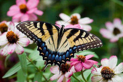 Valentines Day - Pretty Swallowtail Butterfly by Jill Lang