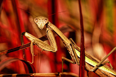 Butterfly Prey Photograph - Praying Mantis  by Geraldine Scull