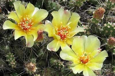 Photograph - Prickly Trio by Frank Townsley