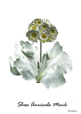 Primula Auricula Photograph - Primula Auricula Monk by Archie Young