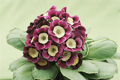 Primula Auricula Photograph - Primula Auricula Venetian by Archie Young