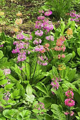 Primula 'harlow Carr Hybrids' Flowers Art Print