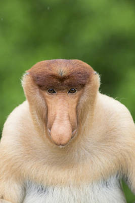 Proboscis Monkey Dominant Male Sabah Art Print